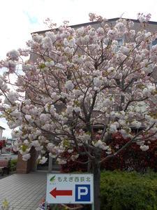 もえぎ西荻北 桜 春にはホームの桜が満開になります。