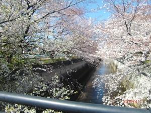 ネクサスコート練馬 青空に石神井川添いの桜が引き立ちとても綺麗です。